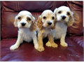 I have 3 Cocker Spaniel Puppies2 males 1 female10 weeks old Born 76202 Rounds of Shot