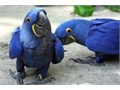 Talking pair of Hycynthia Macaw parrots with cages needing new homes to move intotamed and home tra
