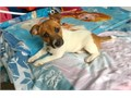 Handsome jack russell puppy available for adoption