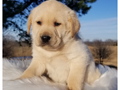 Golden Retriever-Male and- Female - AKC registered - Spayed - Up to dates on shots - mic