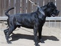 Mark Reasinger PhD created this 575 bulldog  425 mastiff cross by crossing three different Europ