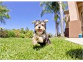 Bruiser is a Healthy male Morkie He is 9 weeks old and comes with a 1 year Health GuaranteeThis He