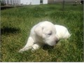 Labradors white puppies AKC registered puppies  shotswormed parents are OFA and eyes cert  our pupp