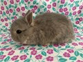 We have available a purebred Netherland dwarf femaleShe is very sweet friendly and handled daily