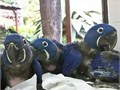 Our beautiful parrots are now ready to meettheir new loving family They are current on all shot