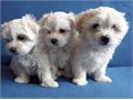 Well Trained Teacup Maltese puppies ready for their new home They are 12 weeks old potty trained