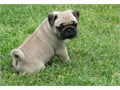 Beautiful Pug PuppiesText 970 316-3173 for more info