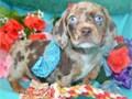 Pure Blue eyes Dachshunds Puppies Children friendly1stvaccination  Microchip InfoPics Text