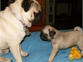 Pug 3 puppies for sale to loving homes Only three months old They come with first shots AKC pape