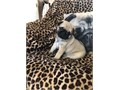 Pug puppies for sale These beautiful puppies are family raised and are very friendly They love to