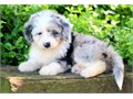 Aussiedoodle pupies9 weeks with shots and deworming up to datesuper friendly and social females