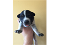 Papered Australian cattle dog puppies Only have 3 left as of now All pups come with shots and pape
