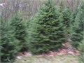 Serbian Spruce 4ft for 22   Bargain Buy