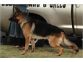 AKC German Shepherd Male 3 years old Not neutered Trained guard dog Serious asset protection No