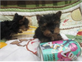 4 beautiful Tea Cup Yorkie puppies for saleThere is 2 girl and 2 boysinterested httpyorkiepups