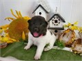 Theyre AKC registered updated on all shots potty trained text for more details via 484-455-4107