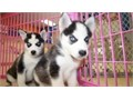 Siberian Husky Puppies Champion bloodline  Theyre home bred and reared on our farm are 9 weeks  P