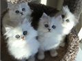 Kittens diet is varied between raw meats predominantly chicken mince and beef h