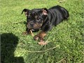 English Bulldog boy looking for his forever home He is 12 weeks up to date on shots and deworming