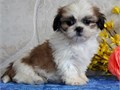 Shih tzu puppies All of them are AKA registered with full right Will come up to date on shots and