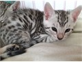 Two gorgeous little boy and girl Bengal kittens ready to be reserved Mother is Silver Rosetted and