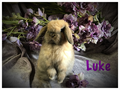 Adorable little 8 week old Holland Lop baby bunnies very sweet handled from birth Holland lops ar
