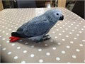 I have 4 African gray parrot 4 sale     tamed and very active   healthy and 11 months old  like to