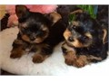 Hello I have an amazing litter of Tea Cup Toy Yorkie puppies we have boys and girls ready to find ne