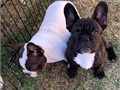 These puppies are very good with children and other pets at home Cute male and female french bulldog