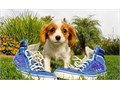 Cavaliier King Charles Pups BoyGirls  10weeks old  vaccinated and come papers interested Textcal