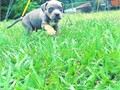 Tri-color male American Pit Bull Terrier 2 months old Asking for 1500 OBO will send pics if inter