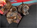 Dazzling Reg DachshundsMales and Females Miniature Dachshund puppies for saleThey have been famil
