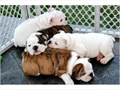 Outstanding Bulldog puppies are up for sale Can be used for show or just a new member of your famil