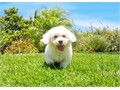 Sebastian is a Handsome male Bichon PuppyHe will weigh around 11-15 lbs full grown and is Super fri