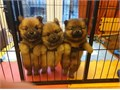 We now have four pups available  all socializing well enjoying four meals a day and becoming