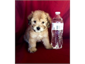 Maltipoo Puppies MaltesePoodle MalesFemales 8 weeks old Shotsdewormed Health record Good wi