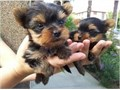 2 adorable yorkie puppies looking for a good home 300 each  purebred no papers  have their fi