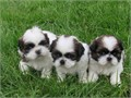 We have 2 cute of AKC registered male and female Shih Tzu Puppies with all their papersPuppies com