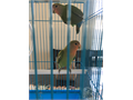 One pair 3 months peach faced lovely lovebirds for 120  plz text me at 8184303484 if u r intereste