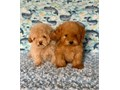 Red Maltipoo Puppies 1 Red Male and 1 Apricot Male available Vaccinated and dewormed 10 weeks old