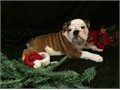 English Bulldog AKC puppie 1 males he is up-to-date on vaccinations hes been checked by the vet an
