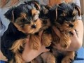 The Yorkies have got all shots have excellent temperaments good pedigrees weaned vaccinated gro
