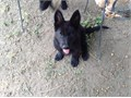 akc german shepherd puppy from solid black german working line parents go to  pedigreedatabasecom