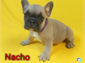 Akc pure breed french bulldog puppies 1 male and 3 females are available shots and deworming as toda