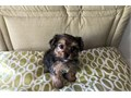 Toy morkie puppy looking for his forever family He has a great temperament and is very affectiona