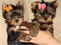 2 adorable Yorkie puppies looking for a good home  comes with all papers  have their first shots