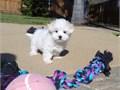 Female Maltese Puppy!!