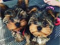 Gorgeous male and female yorkie puppies ready for their new home  come with all paperwork For more