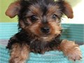 Beatiful purebred female Yorkie Puppy DOB12162019 Estimate Adult weight 5-6lb She is up to dat