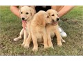 Super beautiful Labradoodle puppy 8 weeks old female Last 3 females in this litterReady with fi